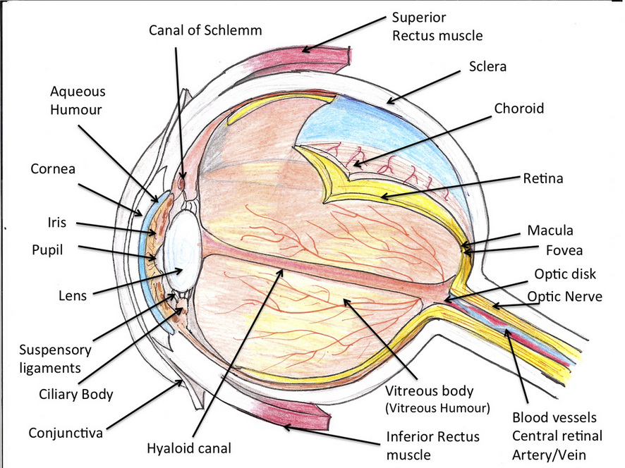 Anatomy Ocular Manifestations Of Systemic Disease